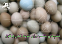 تخم های مناسب برای جوجه کشی قرقاول
