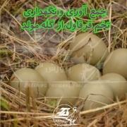 جمع آوری و نگهداری تخم قرقاول از گله مولد