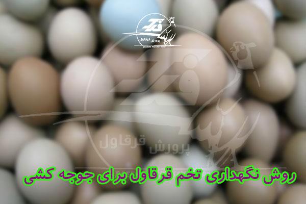 روش نگهداری تخم قرقاول برای جوجه کشی