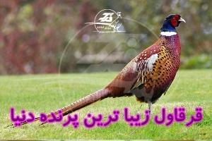 قرقاول زیبا ترین پرنده دنیا