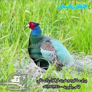 قرقاول پاکستانی