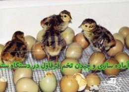 نکات کاربردی آماده سازی و چیدن تخم قرقاول در دستگاه ستر