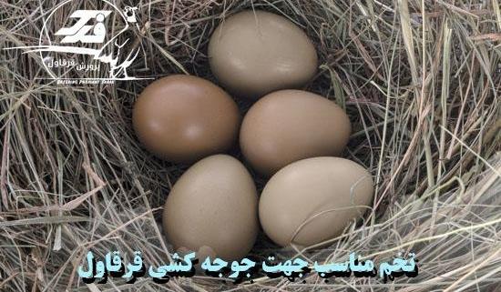 تخم مناسب جهت جوجه کشی قرقاول