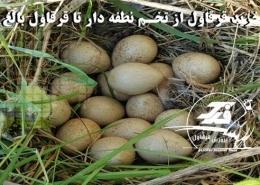 خرید قرقاول از تخم نطفه دار تا قرقاول بالغ