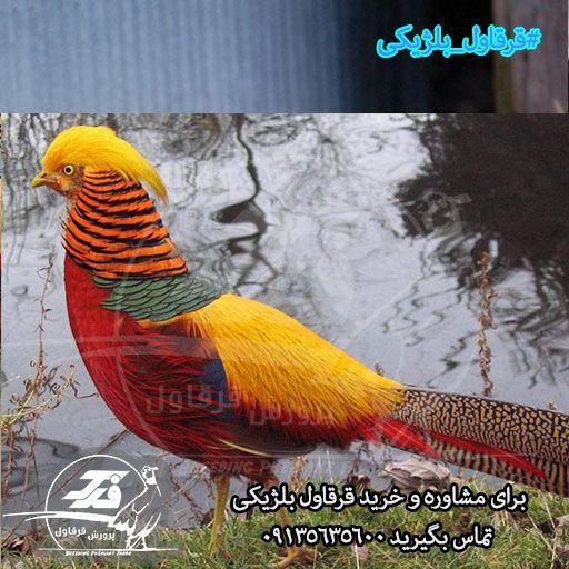 قرقاول بلژیکی فدک اصفهان (۳)