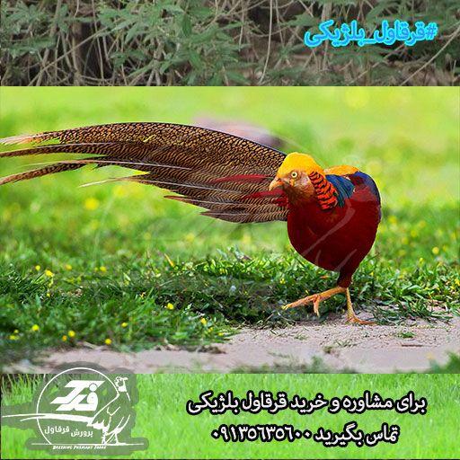 قرقاول بلژیکی اصفهان
