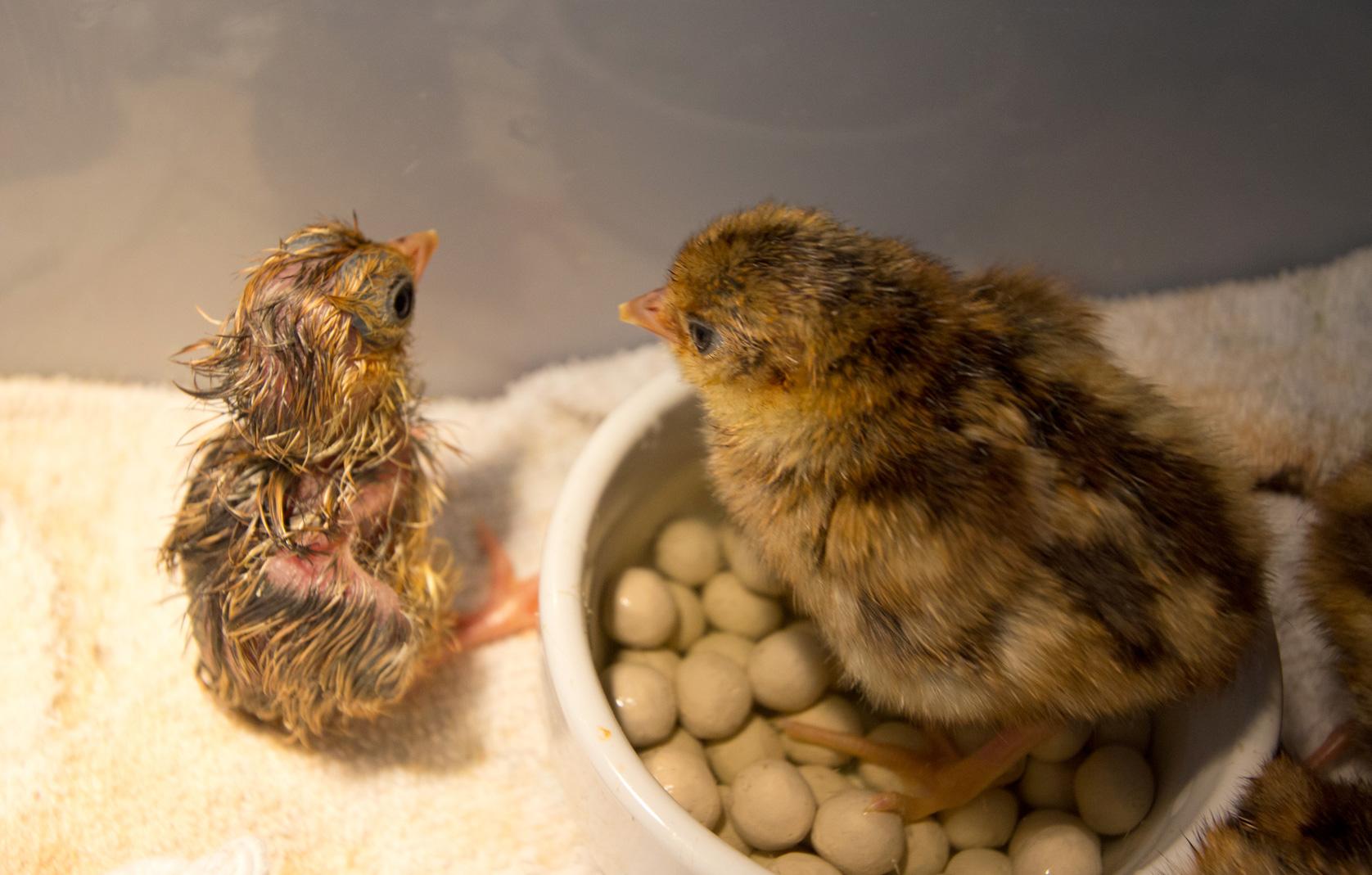pheasantchicks-3651