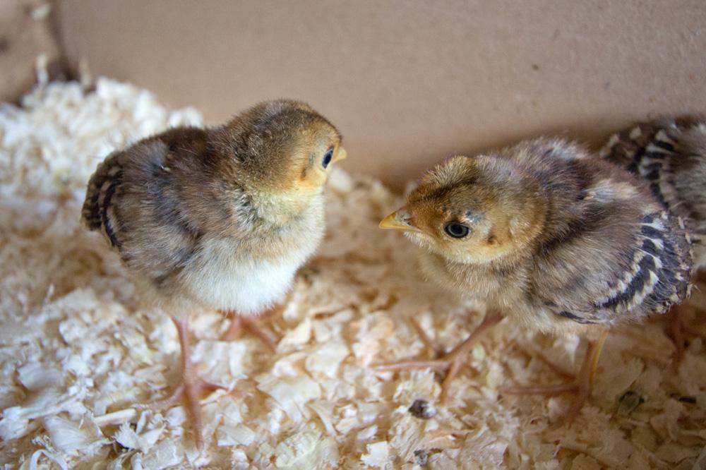 pheasants-1week-4132